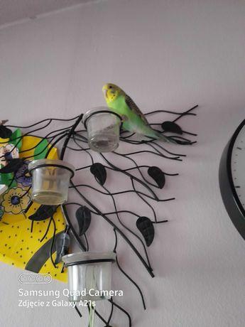 Mloda papuga falista