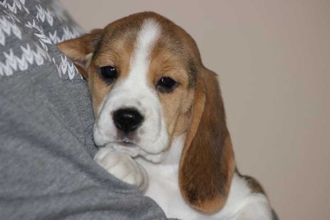Beagle Tricolor - szczeniaczki po Championie ZKwP (FCI)