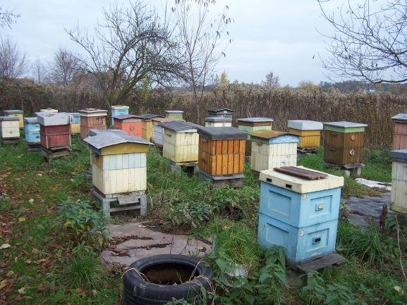 Pszczoły odkłady wielkopolskie i langstrotha