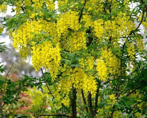 Złotokap złoty deszcz duża roślina