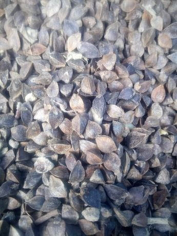 Gryka, nasiona gryki, tatarka, zbiór 2021