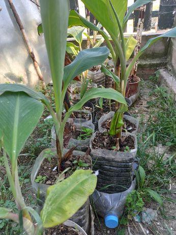 Bananeiras pequenas