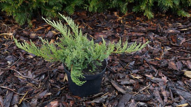 Jałowiec Tamarisifolia 20cm