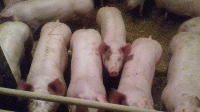 Tuczniki na mięso, półtusze prosto od rolnika, możliwość uboju