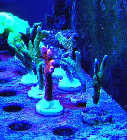Montipora digitata akwarium morskie Violet, Red, Silver oraz Green