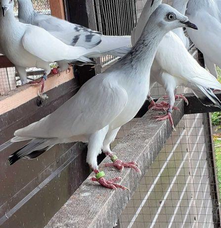 Gołębie ozdobne srebrniaki