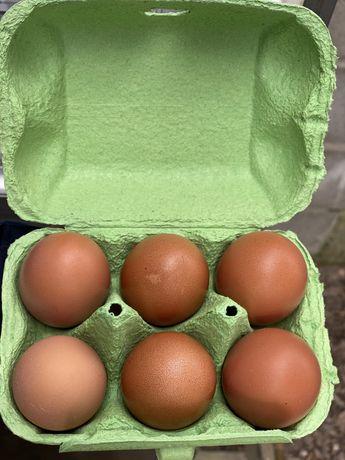 Ovos biológicos/azuis/verdes/chocolate/galados