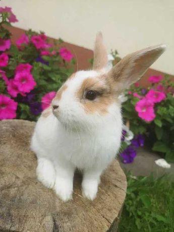 Piękny królik miniaturka karzełek gładkowłosy krótkowłosy króliki mini