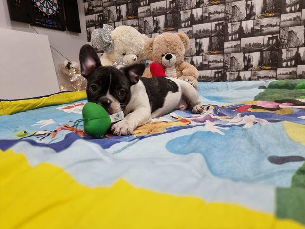 Bulldog francês menino