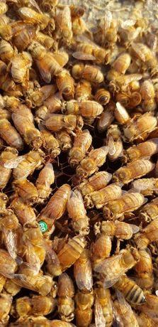 Реализую Бджолині матки Бакфаст Вам интересно?! Плідні