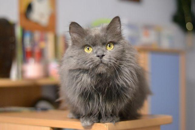 сірий кіт в пухнастій шубці 1р