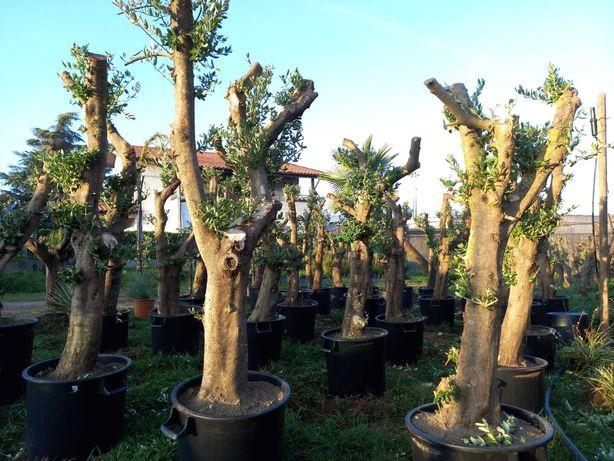NOVIDADES - Oliveiras! / Plantas / Árvores / Jardim
