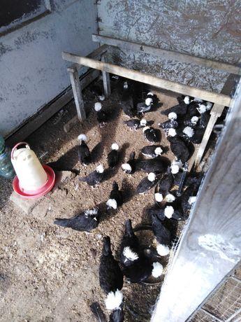 Kury biało Czuby holenderskie