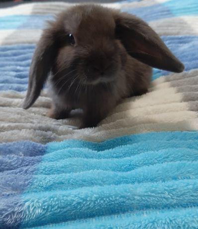 Маленькі, ручні декоративні кролики.
