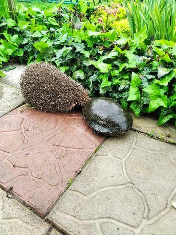 Европейская черепаха.  ( До весны ).