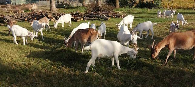 Sprzedam młode kozy mleczne, kózki, koziołki.