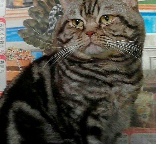 Шикарный Шотландец кот приглашает на свидание!