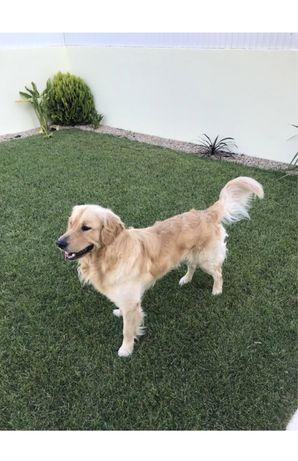 Golden retriever procura namorada