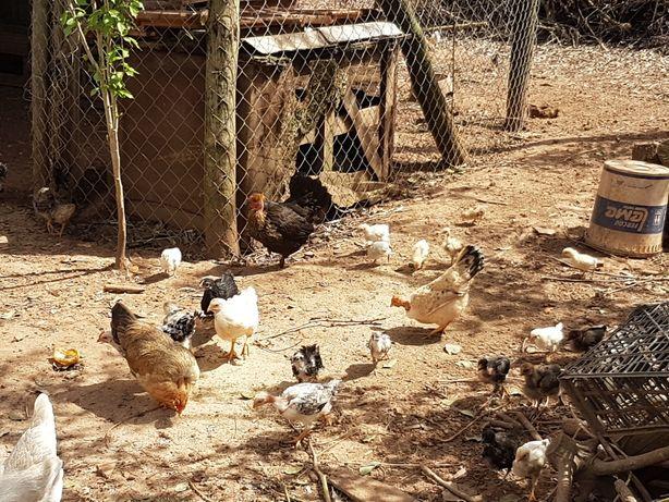 Tenho para disponibilizar várias galinhas da India