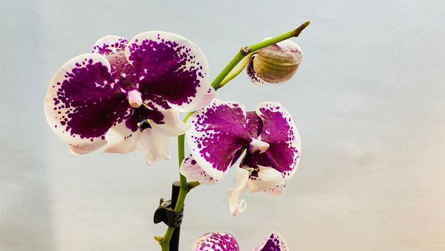 Орхидея, фалинопсис биглип бардовый расписной