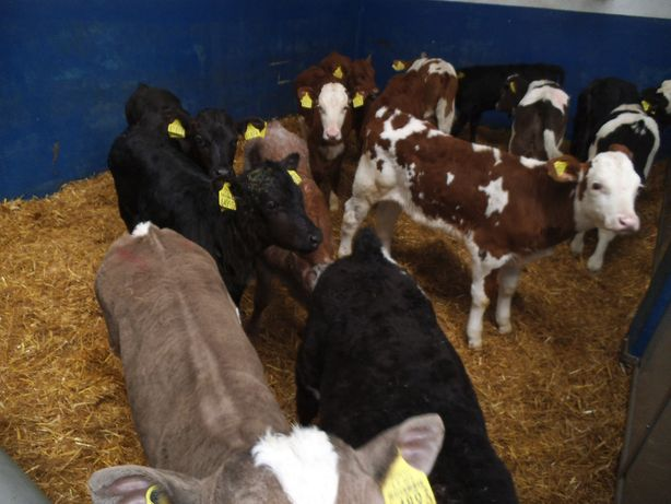 Jałówki, byczki typ mięsny i krzyżówki