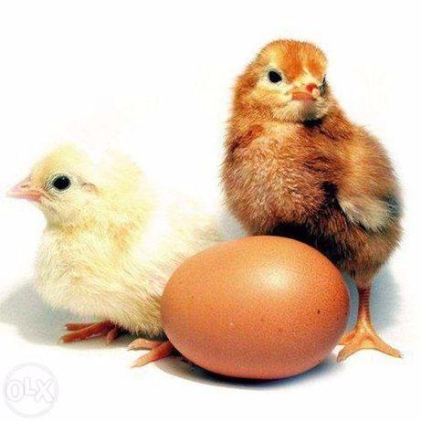 Инкубационное яйцо кур