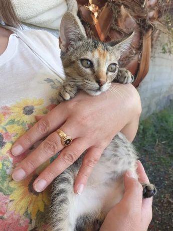 Dou gatinha - adoção