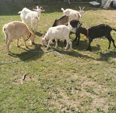 Sprzedam kozy mleczne z młodymi i 1, 5 rocznego capa