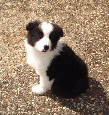Pies szczeniak border collie