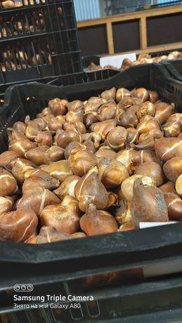 Продам луковицы тюльпанов оптом.