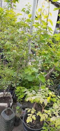 Продам саженцы плодовых деревьев