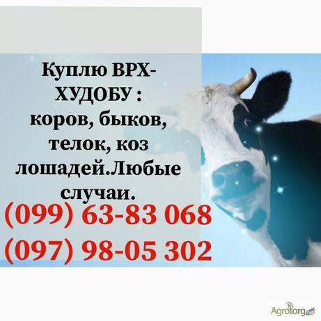 Корова, бик, у населення (Полтавская обл.)