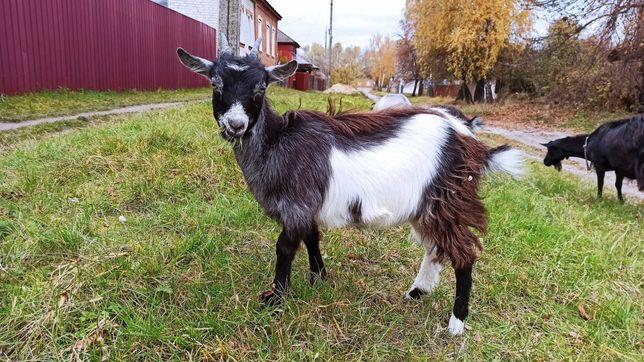 Продам козеня 7 місяців від гарної кози