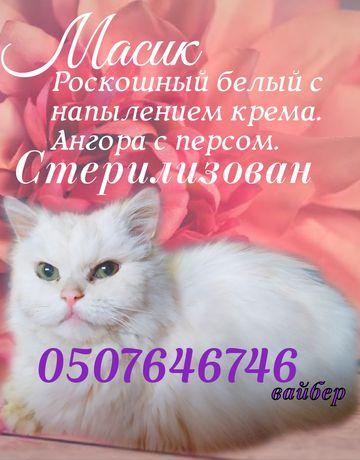 Белый пушистый крупный кот ангоро- персидский