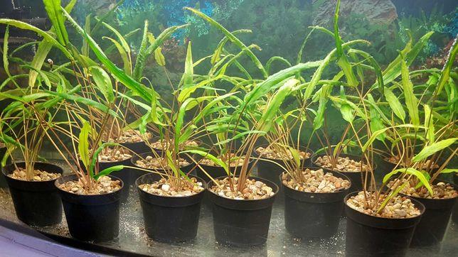 Kryptpkoryna sadzonki w doniczce