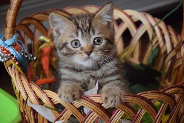 Шотландский тигровый котёнок
