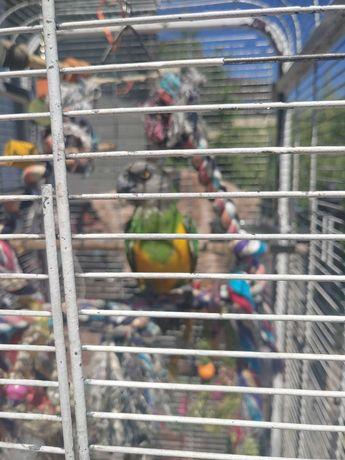 Papuga Senegalka Afrykanska