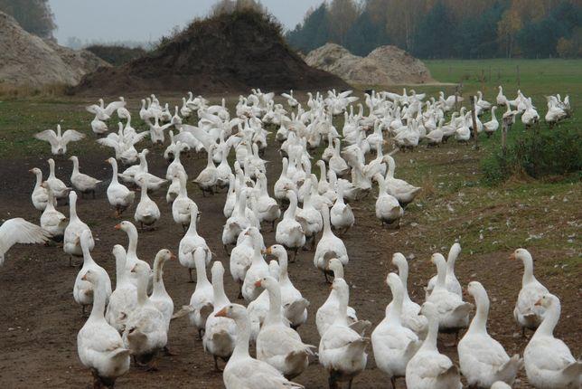 gęśi białe kołudzkie do uboju na jajka wolny wybieg ekologiczne