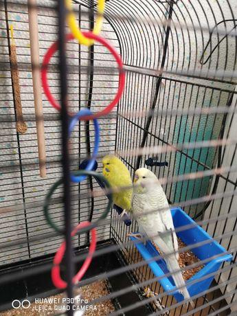 Dwie papugi z klatką