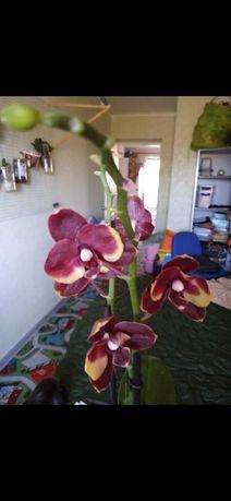 Орхидея фаленопсис бананка