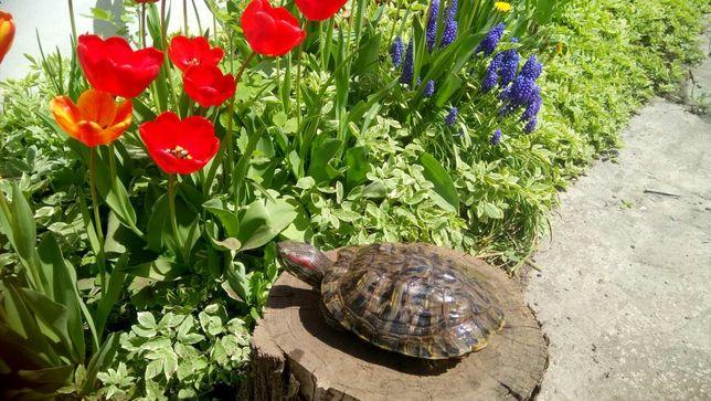 Красноухая Австралийская черепаха 700  грн