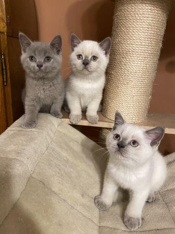 Koty Brytyjskie Kotka Point Liliowa Kocur Liliowy Niebieski