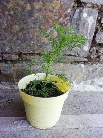 Artemisia Abrotanum *Coca Cola*