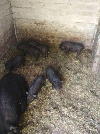 Продам поросят. Ветнамсеие свинки. Маленькие свиньи. Возможна доставка