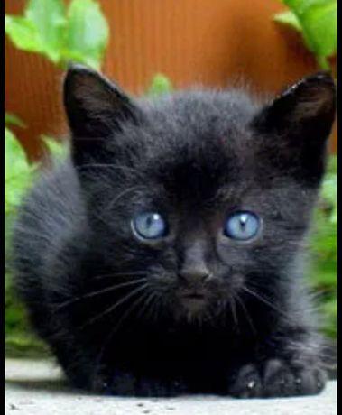 Gatinho preto bebé para adoção