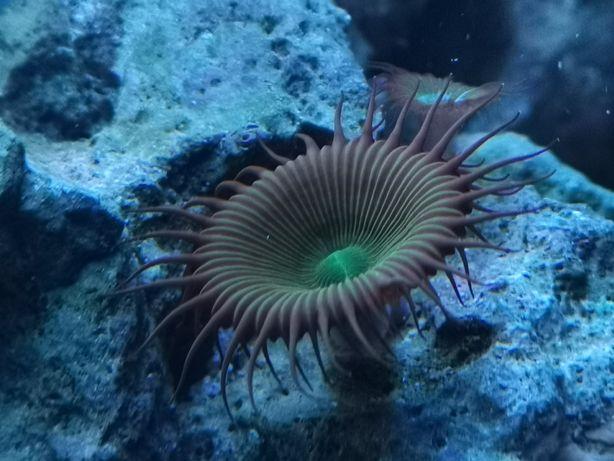 Zoa, zoantus koralowiec, akwarium morskie. Ostatnie polipy.