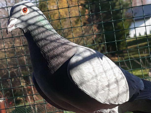 Gołębie pocztowe z rozpłodu Jack