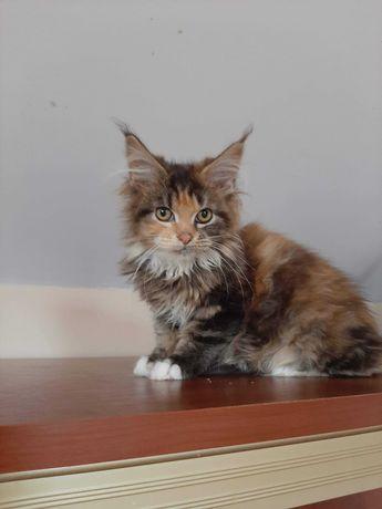 Śliczna kotka Maine Coon