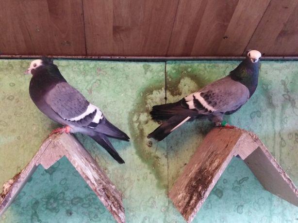 Gołębie łyski - samiec