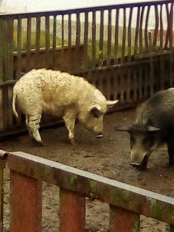 Свині,Мангаліци.